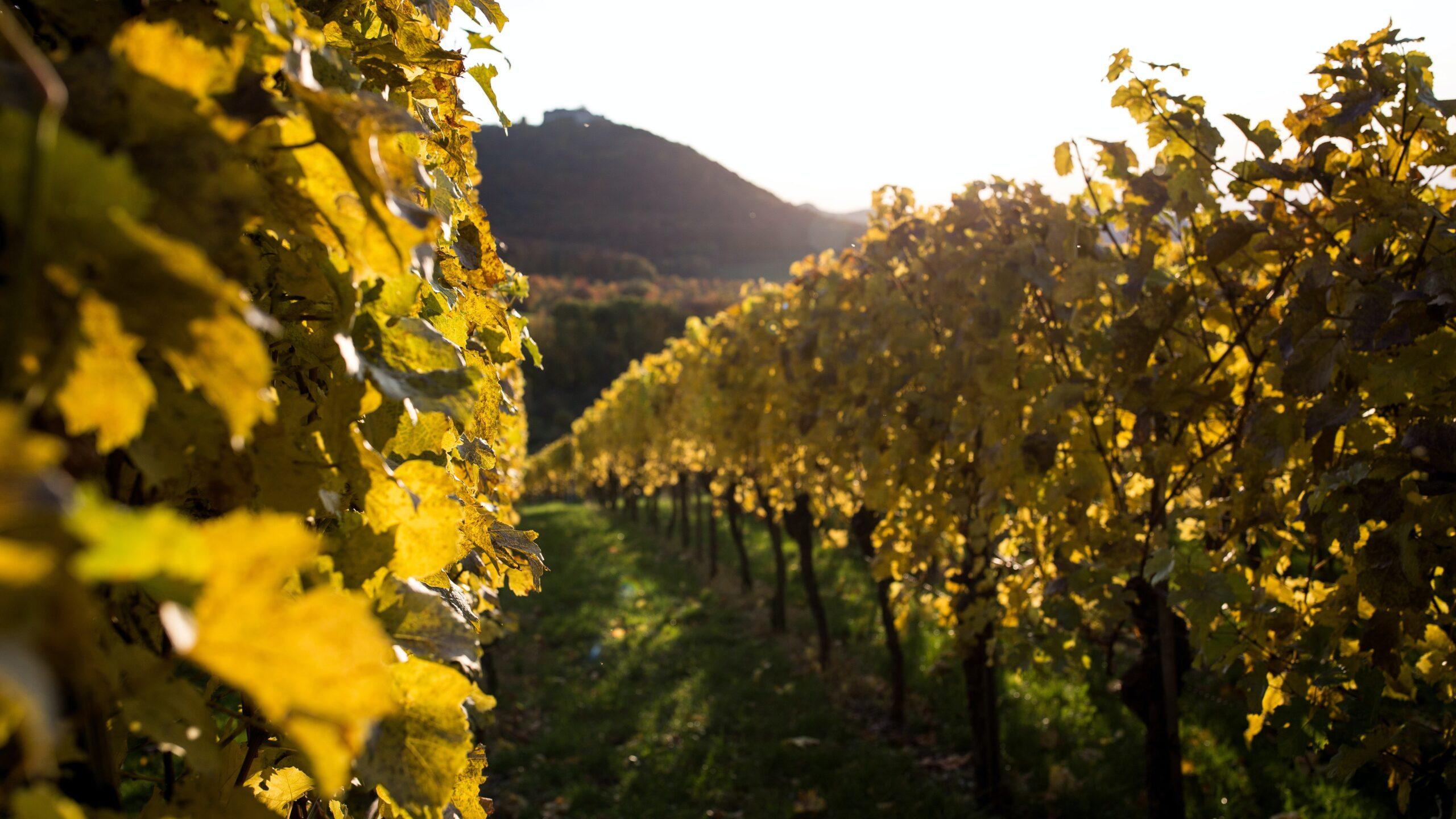 winnica jesienią w polsce - Fine Wine